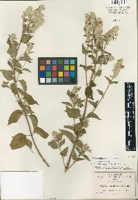 Image of Salvia albicans