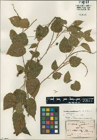 Image of Acalypha trachyloba