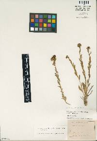 Image of Lepidium integrifolium