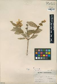 Image of Philadelphus zelleri
