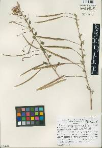Image of Cleome costaricensis
