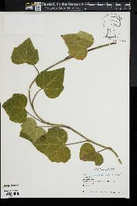 Image of Hedera colchica
