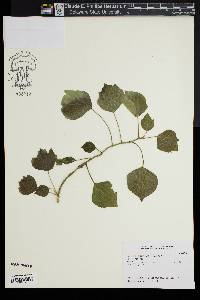 Image of Hedera taurica