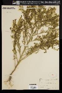 Image of Lepidium intermedium