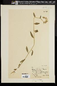 Image of Lobelia georgiana