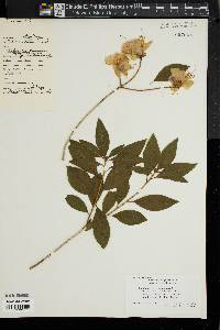 Image of Rhododendron dauricum