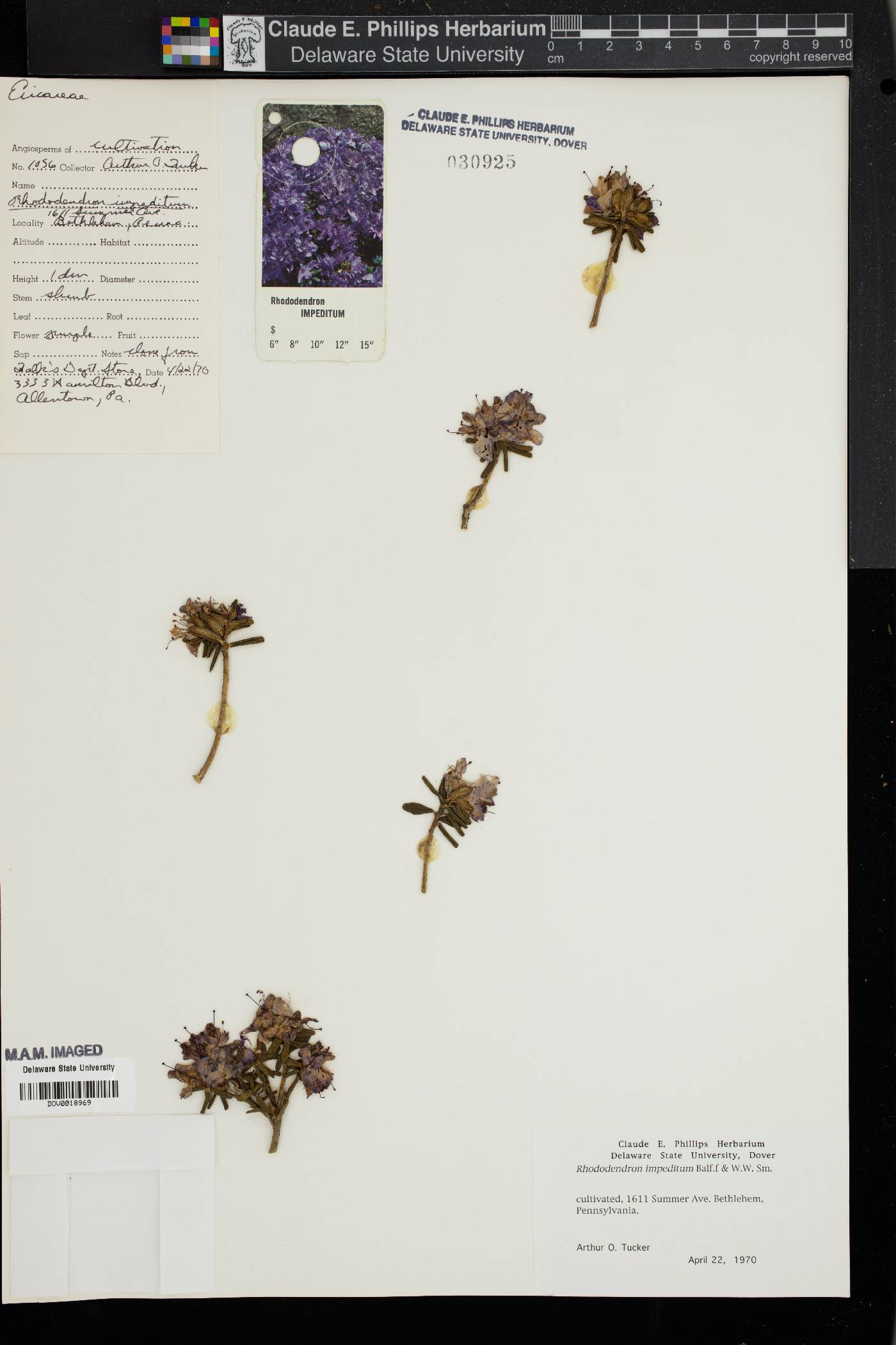 Rhododendron impeditum image