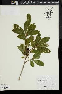 Image of Rhododendron luteum