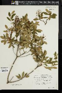 Image of Rhododendron micranthum