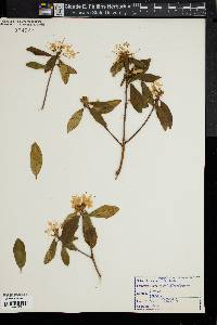 Image of Rhododendron racemosum