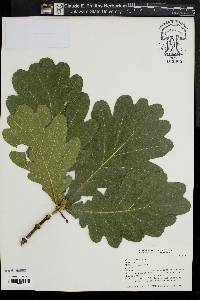 Image of Quercus dentata
