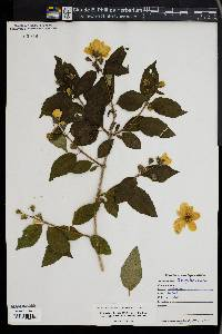 Image of Philadelphus x virginalis