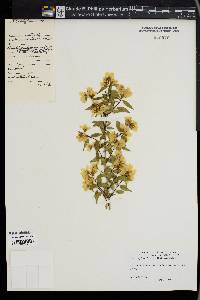 Image of Philadelphus x lemoinei