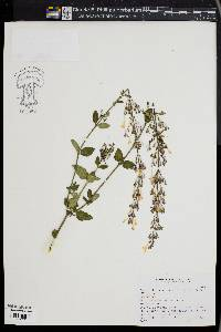 Image of Agastache mexicana