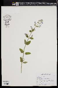 Image of Nepeta stewartiana
