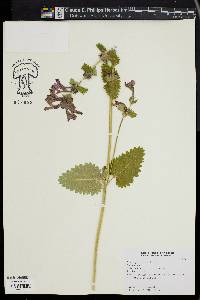 Image of Stachys macrantha