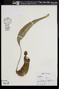 Image of Nepenthes alata