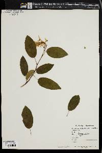Image of Amelanchier asiatica