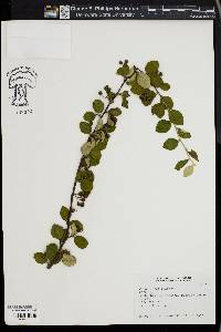 Image of Cotoneaster fangianus