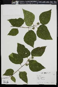 Image of Celtis labilis