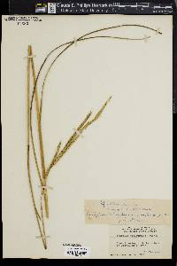 Image of Spartina stricta
