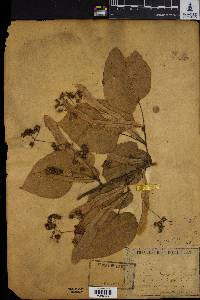 Image of Tilia dasystyla