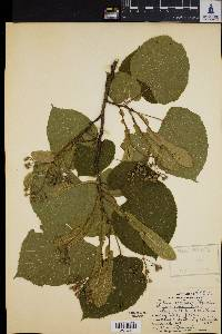 Image of Tilia neglecta