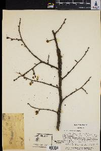 Image of Ulmus macrocarpa