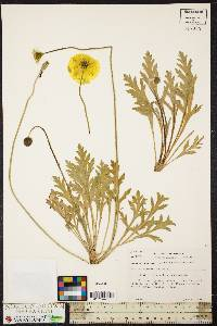 Image of Papaver canescens