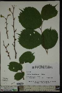 Image of Celtis koraiensis