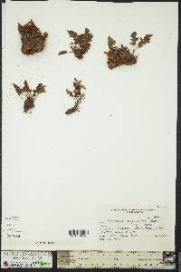 Image of Cheilanthes arequipensis