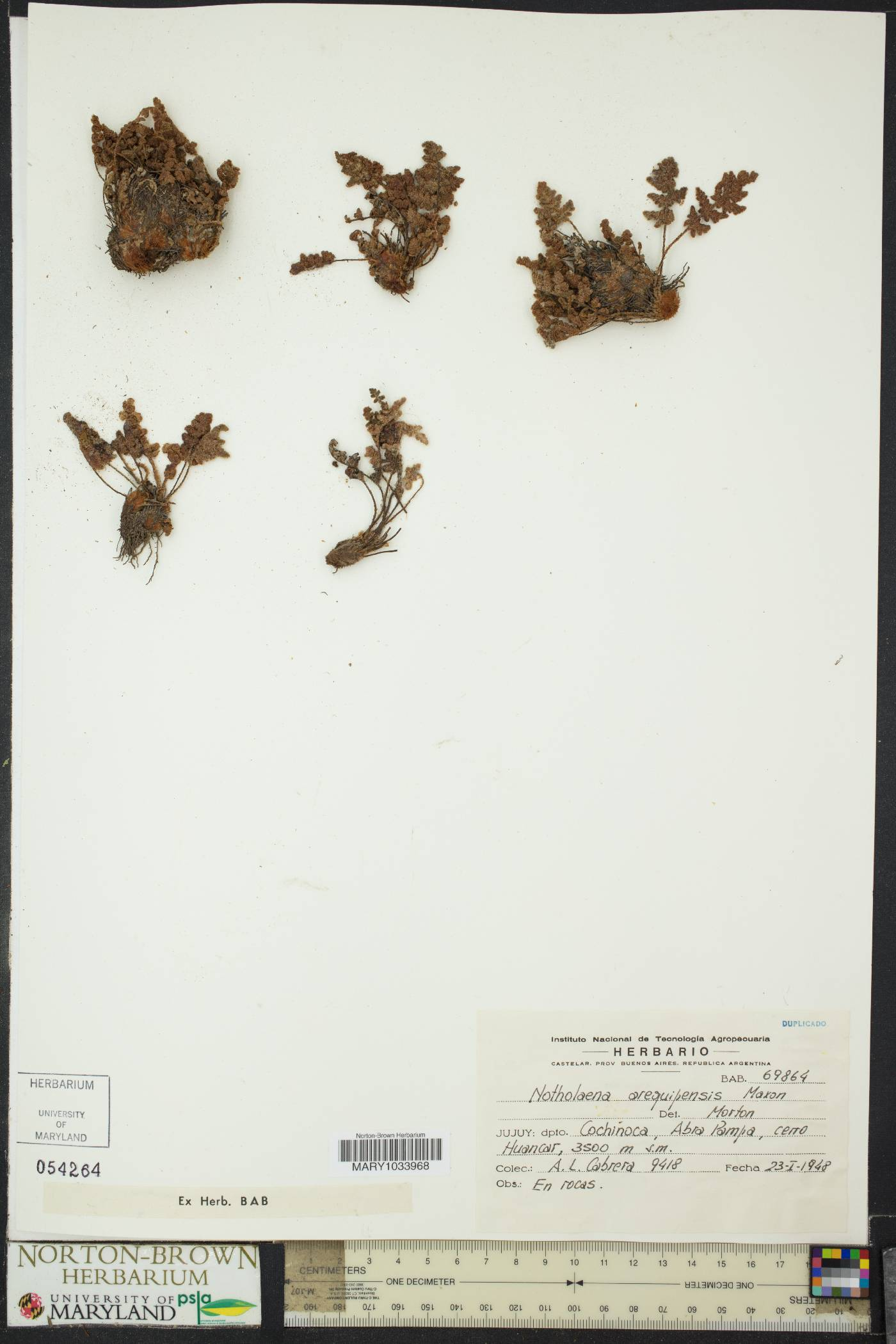 Cheilanthes arequipensis image