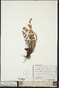 Image of Cheilanthes lasiophylla