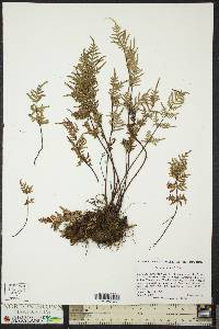 Image of Cheilanthes smithii