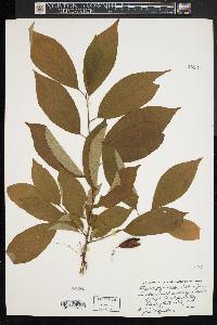 Styrax japonicus image