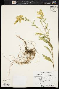 Image of Solidago boottii