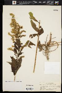 Image of Solidago elliottii