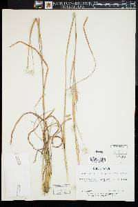 Image of Andropogon elliottii