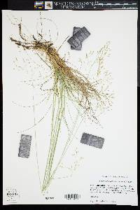 Image of Deschampsia flexuosa