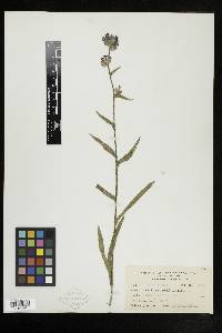 Anchusa officinalis image