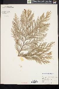 Image of Chamaecyparis pisifera