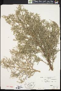 Image of Juniperus sabina