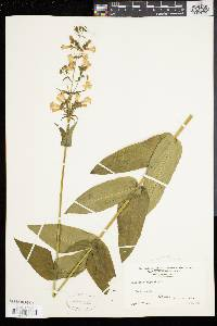 Penstemon digitalis image