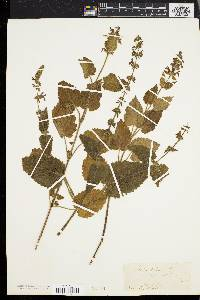 Image of Stachys betonica