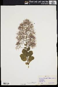 Image of Cotinus cotinoides