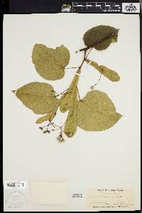 Image of Tilia michauxii