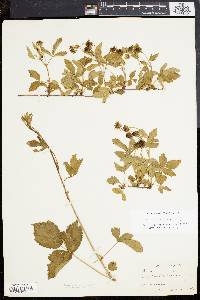 Image of Rubus steelei