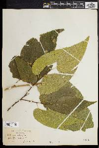 Image of Celtis crassifolia