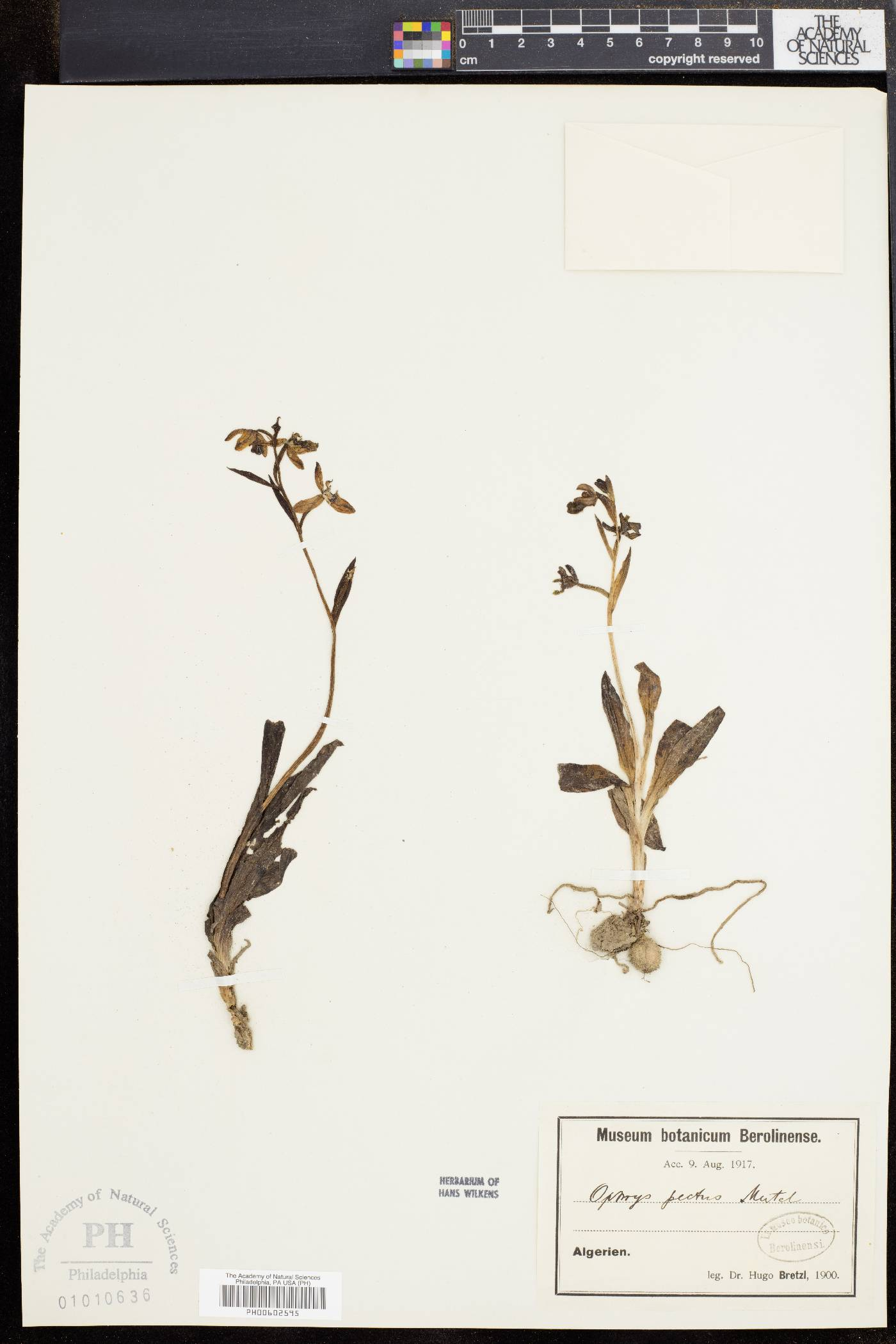 Ophrys pectus image