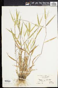 Dichanthelium oligosanthes var. oligosanthes image